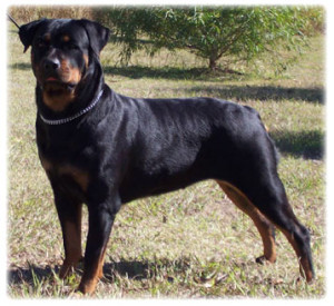 Coalfire rottweiler training tips