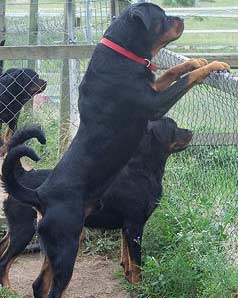 Rottweiler Aggression Problems Prevent Them Coalfire Rottweilers