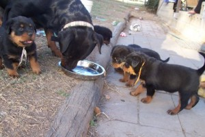 Rottweiler Feeding Tips